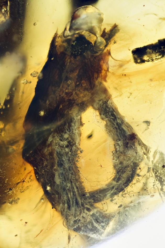 琥珀中的鸟足,可以看到脚上的廓羽和角质鳞丝状羽(摄影/邢立达)