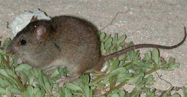 全球变暖首个灭绝物种出现:珊瑚裸尾鼠
