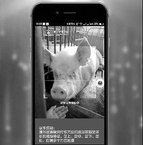 猪场用视频捕捉猪脸,因为它们总是动来动去。