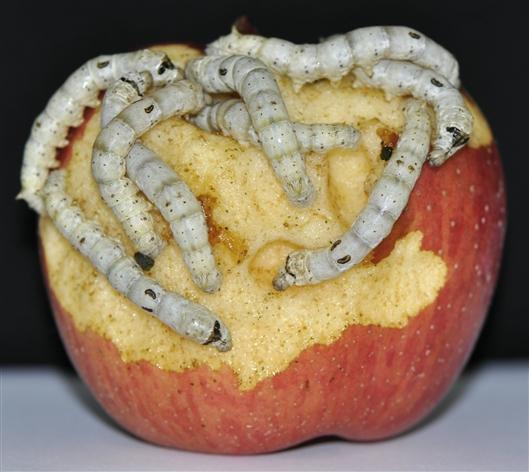 为什么蚕只爱吃桑叶?中科院科学家揭示其中奥秘