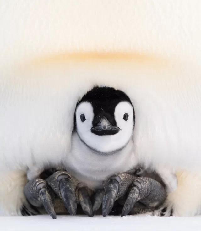 """企鹅蛋为何不结冰?帝企鹅爸爸已经进化成""""暖水袋"""""""