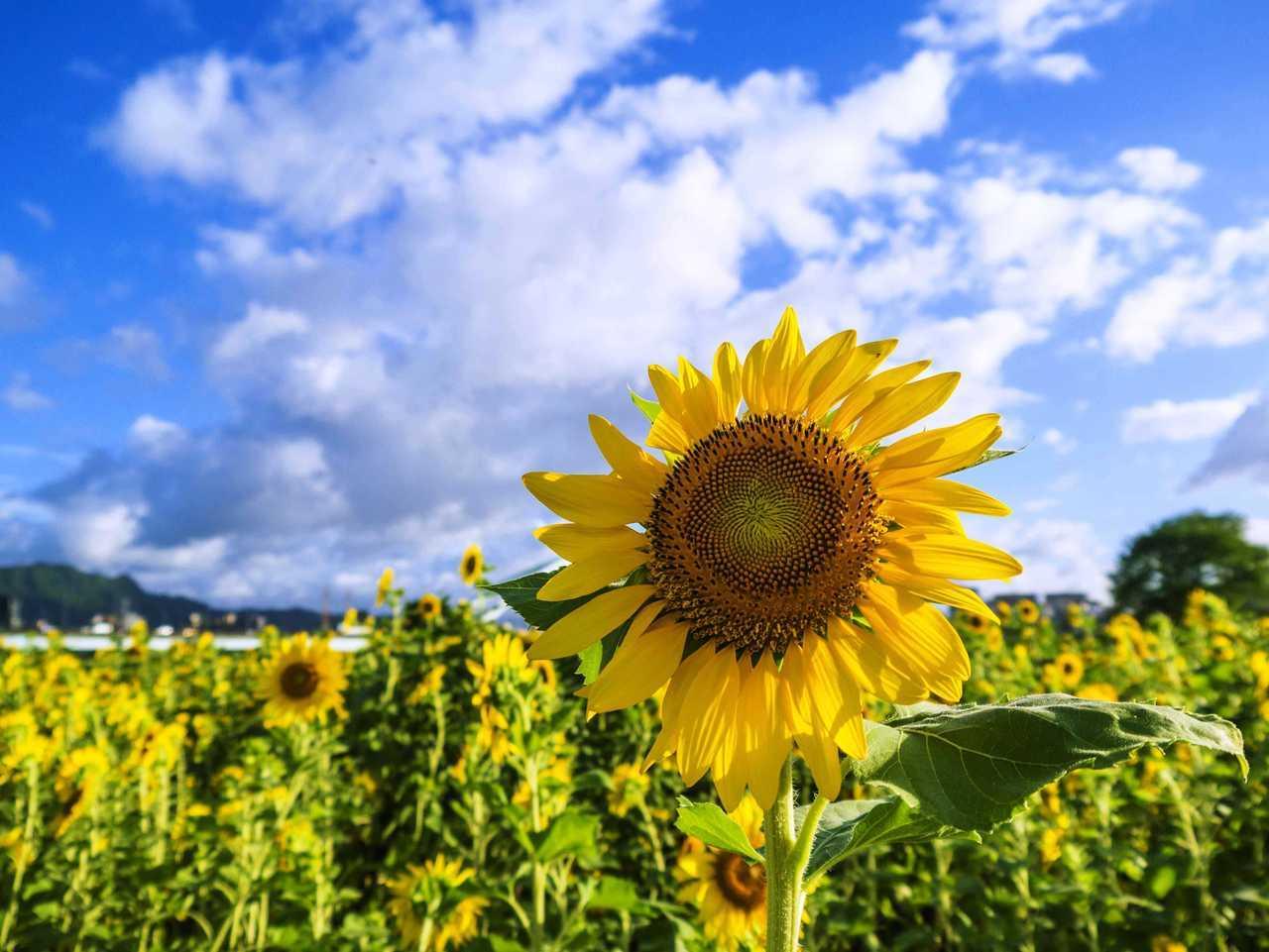 知否|向日葵总是向太阳吗?晚上是否集体猛回头?