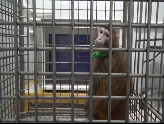这种转基因猴可能提高了智商