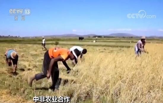 中国杂交水稻非洲创高产纪录 远高于当地稻米产量