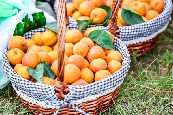 中国·怀来农民丰收节暨第十二届官厅石片黄杏采摘季于7月6日开幕