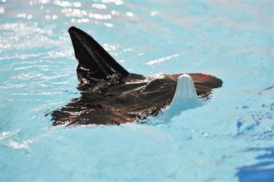 我研制出滑扑一体自主变形仿生柔体潜航器