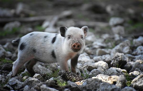 猪心移植取得重大突破 人类终于能用了!