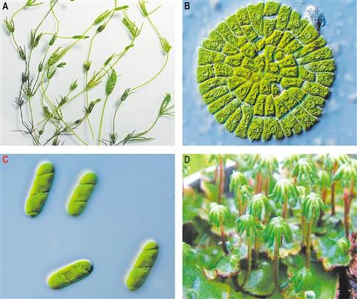 陆地植物的共同祖先原来是它