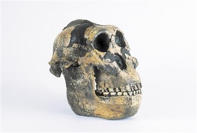 新发现的南方古猿化石 或将重绘人类演化谱系树